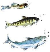 salmon life cycle, frozen salmon, omega 3 foods