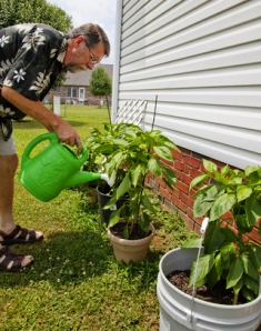 Growing Tomatoes In Buckets Works Well And Is Quite Simple