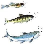 salmon life cycle, frozen salmon, omega 3 foods